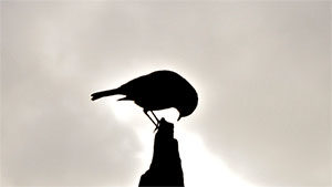 vogel_300
